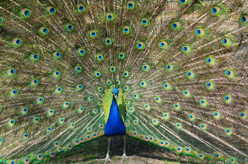 Majestic bright peacock.