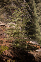 Sequoias,Sequoia,Sequoia National Park,Sequoia trees,Red Wood, Giant,Giant trees, Huge, Big, Old, Landscape, Nature,American Nature,Sequoia National Forest, New Life,New Tree, New life on dead body