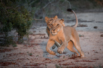 A horizontal, full length, colour photograph of two lionesses, Panthera leo, hunting in the Greater Kruger Transfrontier Park, South Africa.