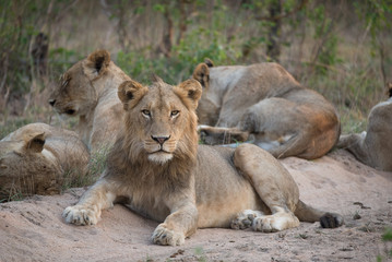 A young male lions staring directly at the camera in the Greater Kruger Transfrontier Park, South Africa.