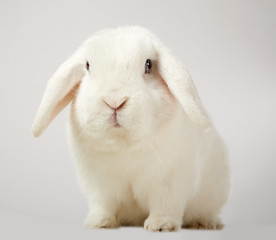 Cute little fluffy white lop eared bunny rabbit
