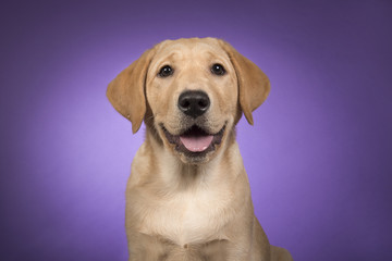 Portrait of a blond labrador retriever on a purple background