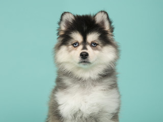Portrait of a pomsky puppy on a blue background