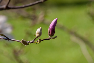 magnolia tree flower buds with blurred green background