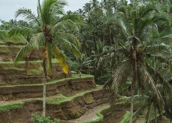 Rice Terraces of Indonesia