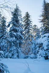 Snowy winter forest with fir trees and pine trees with white snowdrifts and blue sky
