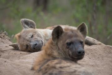Aluminium Prints Hyena Over the shoulder