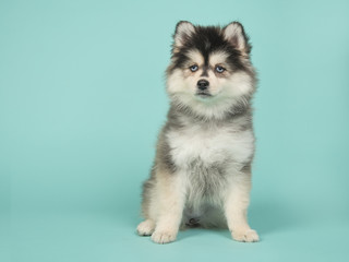 Cute pomsky puppy sitting on a turquoise blue background