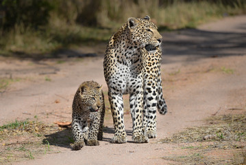A horizontal, full length colour photograph of the front view of a leopardess, Panthera pardus, walking alongside her blue-eyed cub on the Greater Kruger Transfrontier Park, South Africa.