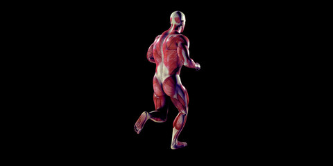 Human Male Body Anatomy Illustration with visible muscles