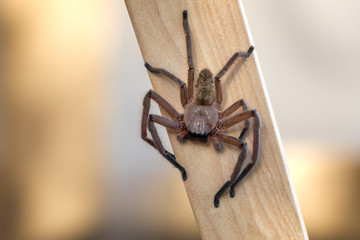 Huntsman spider on a piece of timber waiting for a prey.