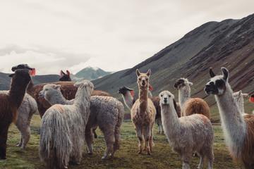 Fotorolgordijn Lama Alpaca Crew