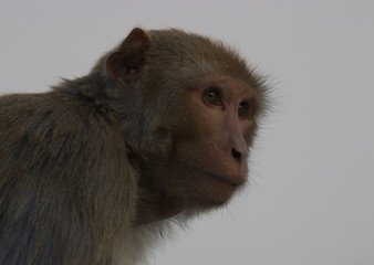 Portrait of a macaque against the sky in varanasi