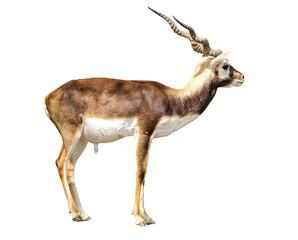Garden Poster Antelope Blackbuck on a white background.