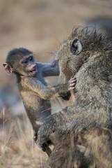 Baboon , Africa