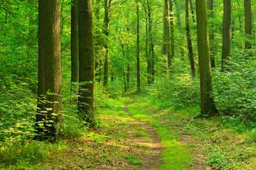 Poster de jardin Foret Wanderweg durch sonnigen grünen Wald im Sommer