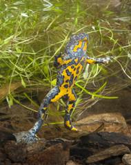 Gelbbauchunke (Bombina variegata) unter Wasser - Yellow-bellied toad