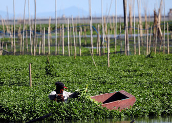 A woman collects water spinach growing at Laguna Lake in Taguig
