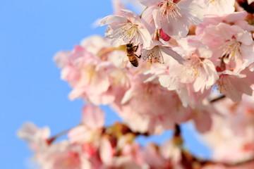Wall Mural - 桜とミツバチ