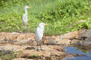 Galle, Sri Lanka - White asian herons having a rest at a small river in Galle