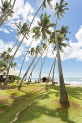 Koggala Beach, Sri Lanka - Huge palm trees on a meadow at Koggala Beach