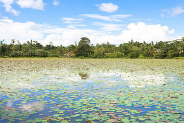 Matara Lake, Sri Lanka - Tousands of water lilies on a lake near Matara