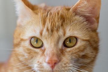 Portrait einer Katze mit rotem Fell vor grauem Hintergrund