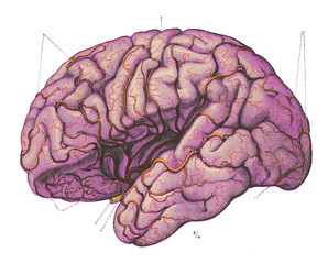 Vintage Anatomy Brain Intelligence Engraving Illustration