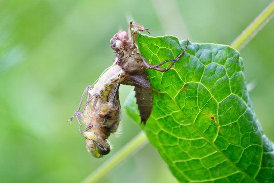 Entpuppung einer Libelle Libellenschlupf Geburt Blatt grün