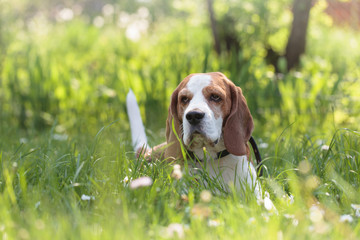 Beagle dog in the summer forest lying on a grass.