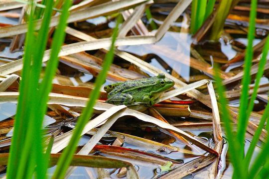 Kröte Frosch auf Schilf im Wasser
