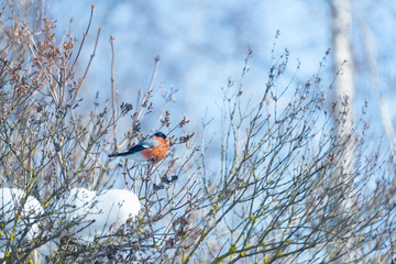 red-breasted bullfinch on a sunny winter day sits on a branch