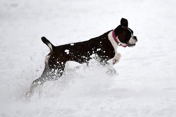 Matilda the boxer dog runs in the snow at the Phoenix Park in Dublin