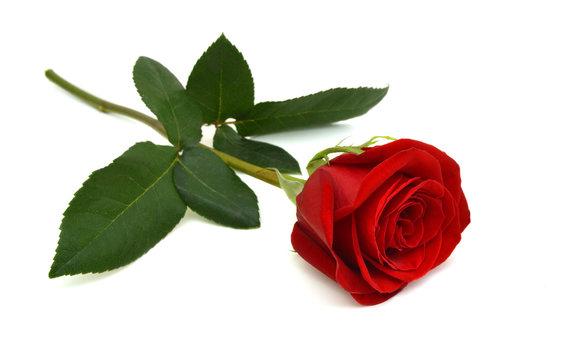 Single beautiful red rose isolated on white background