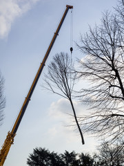 cutting and removing a branch from a large plane tree