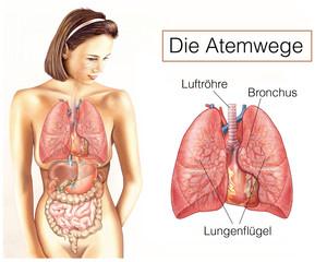 Atemwege.Lunge mit Lungenflügeln