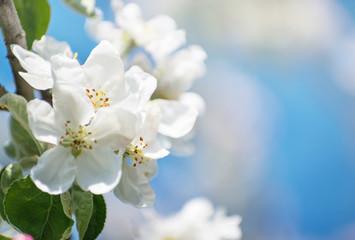 Spring Apple Blossom over blue sky.