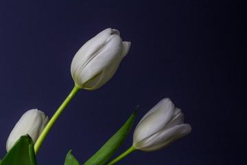 Bright White Tulips