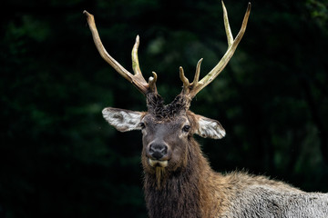 old deer in dark forest close up