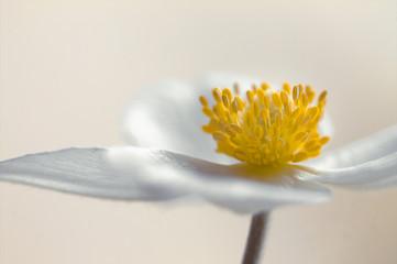 Weiße Anemone, lichtdurchflutet
