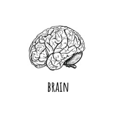 Brain Vector Illustration.