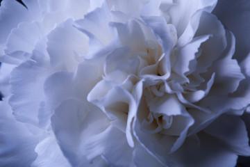 Fotobehang one white carnation flower in reflecting vase with water on dark
