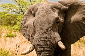 Primissimo piano di un elefante maschio nella riserva Chobe