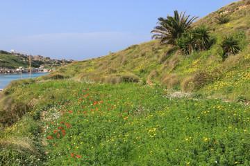 Gnejna Bay, Malta, Mohn, Wildblumen