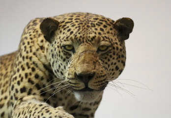 An African Leopard Preparing to Pounce