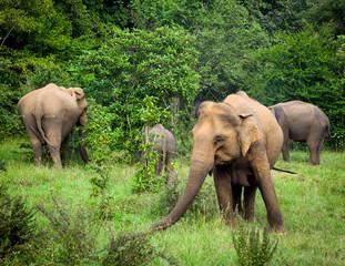 Sri Lanka Minerva Park Wild Elephants