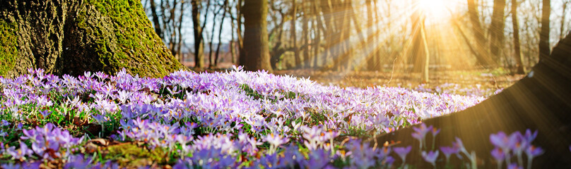 Fotobehang Krokussen Wiese mit zarten Blumen im Frühling