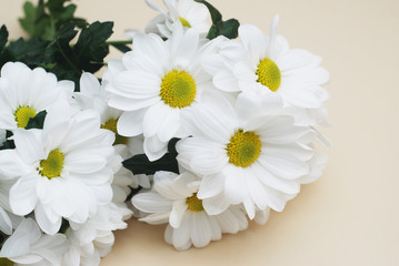 Chrysanthemum camomile White Flower Bouquet over Neutral Beige Background with Copy space.