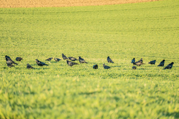 Krähen auf dem Feld
