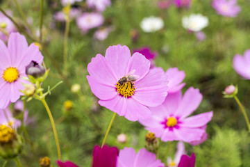 Close up of Bee and Pink Daisy Flowers.
